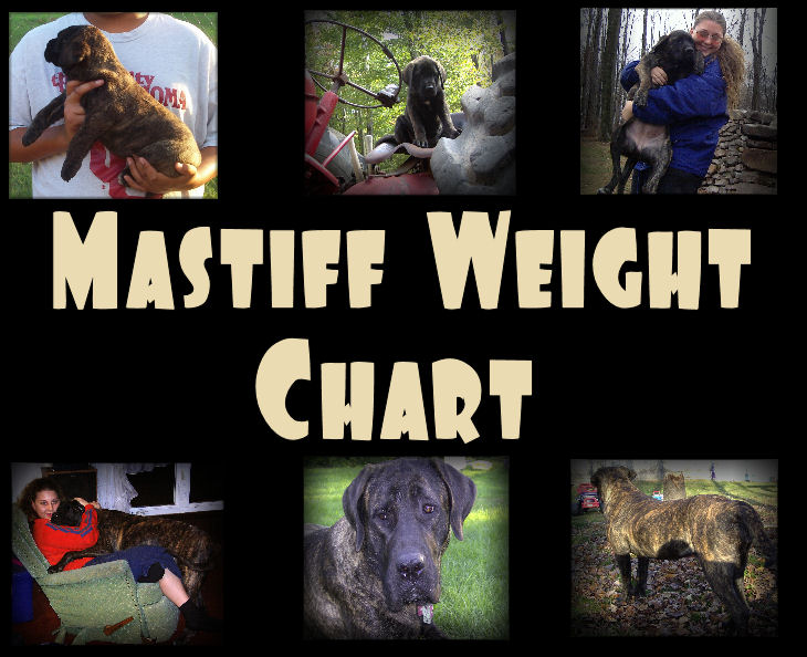 Mastiff Weight Chart