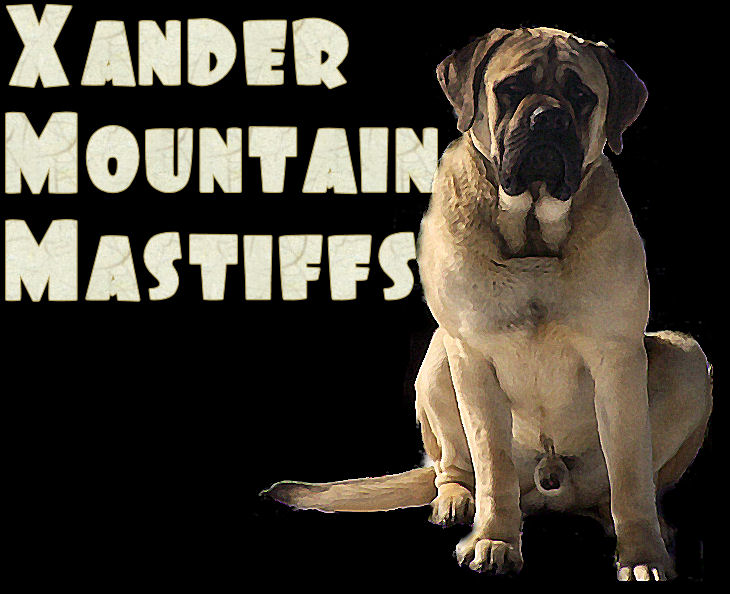 Xander Mountain Mastiffs